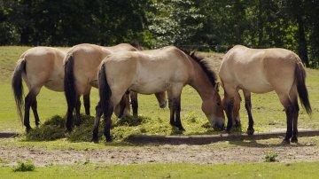 Existe-t-il encore des chevaux sauvages ?