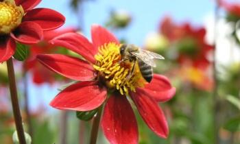 Les abeilles meurent-elles après avoir piqué ?
